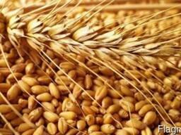 Пшеница мяг 3,4,5 класса