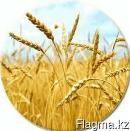 Пшеница мягких и твердых сортов