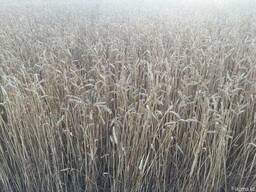 Пшеница, Подсолнечник, Сафлор