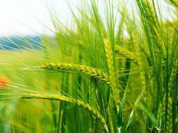 """Пшеница сорт """"Омская-38"""""""