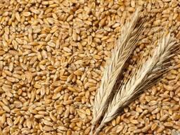 Пшеницу 3 и 4 класса на хозяйствах и элеваторах