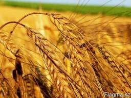 Пшеницу 4 класса в Китай
