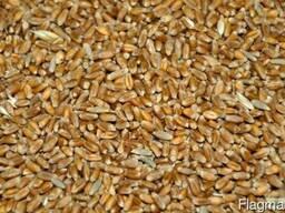 Пшеницу фуражную (5 класс)