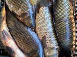 Рыба. Переработка рыбы