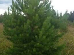 Саженцы деревьев: ель, сосна, береза, липа, рябина