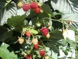 Саженцы фруктовых деревьев, Алматы - фото 3