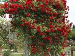 Саженцы роз - фото 1