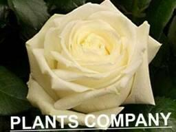 Саженцы роз оптом в розницу 38 сортов