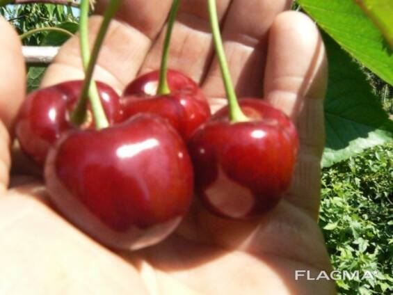 Саженцы вишни и черешни