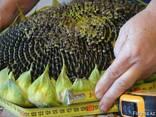 Семена подсолнечника кондитерского Канада трансгенный гибрид - фото 4