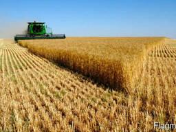 Семена пшеницы, овса