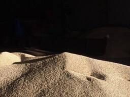 Семена Рапса