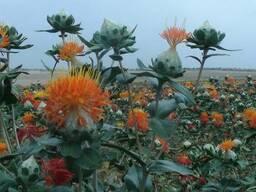 Семена сафлор с высокой линолевой кислотой (более 78%)