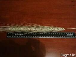 Семена ячменя BYLOT канадский трансгенный сорт двуручка