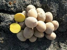 Семенной картофель (картошка) сортов Гала, Санте, Агрия