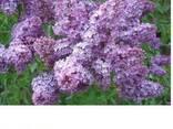 Сирень (лат. Syringa vulgaris), саженцы сирени, Алматы - фото 3