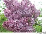 Сирень (лат. Syringa vulgaris), саженцы сирени, Алматы - фото 4