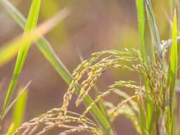 Системный гербицид по посевам риса Ессенливер