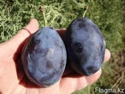 Слива Стенли, чернослив, саженцы сливы, плодоносящие деревья - фото 2