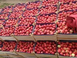 Яблоки и груша на Тараз