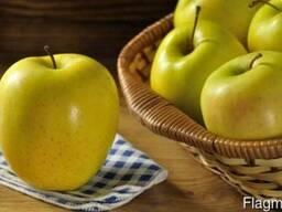 Яблоки сорта Golden Delicious ( Золотой превосходный) - фото 5