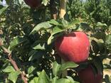 Яблоко - фото 5