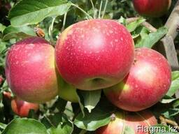 Яблони, саженцы яблонь, продажа деревьев яблонь Алматы