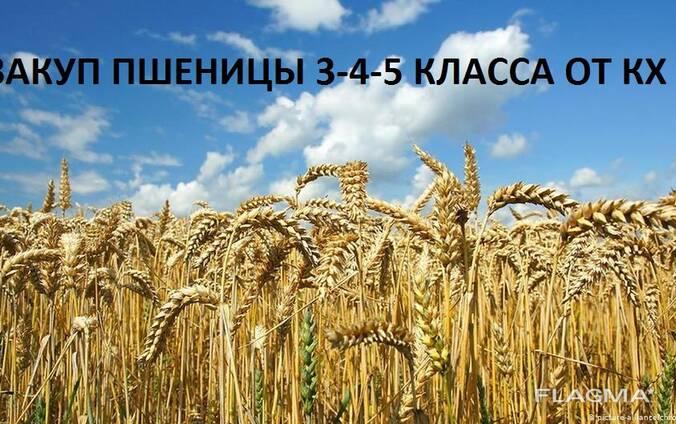 Закупаем пшеница 3-4-5 класса