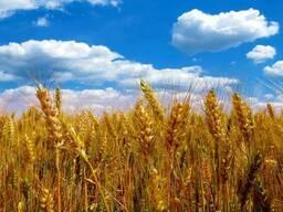 Закупаем пшеницу 4 и 5 класса