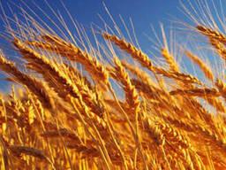 Закупаем пшеницу мягкую 3-4-5 класса. Лен масличный