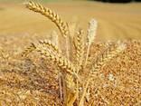 Зерно - фото 1