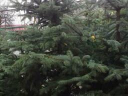 Живые елки,туи, Сосны.Лиственные и плодовые
