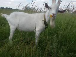 Живые зааненские козы